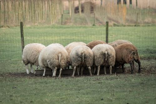 Foderhäckar till fåren