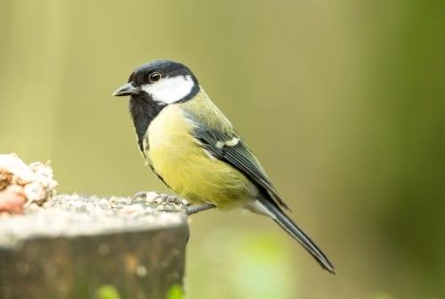 Solrosfrön och hampafrön lockar sparvar, finkar och mesfåglar.