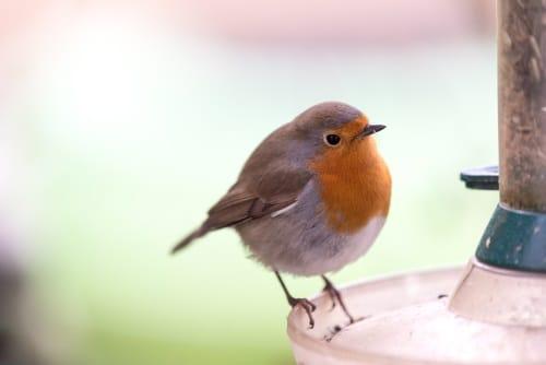 Var ska man bäst placera sin fågelmatare? Här får du svaret.