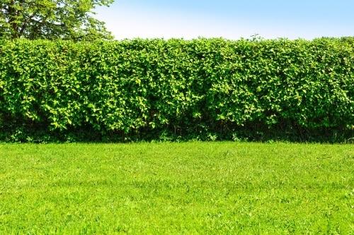 Häckplantor av liguster
