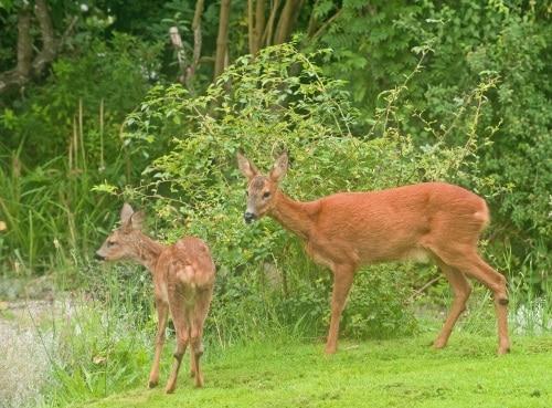 Gnagskydd runt trädens stammar är ett bra skydd mot rådjurens framfart.