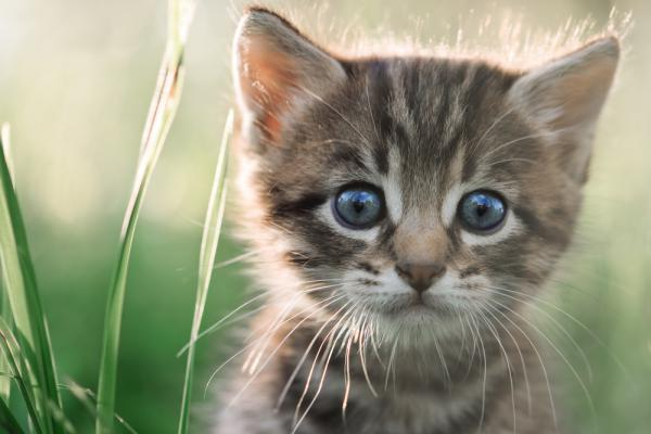 Skaffa kattunge